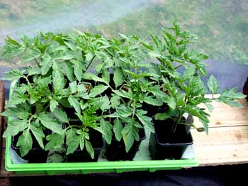 Young Tomato Plants